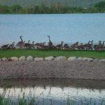 Geese on Flathead Lake
