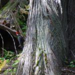 Woodpecker on Cedar